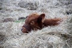 cow-1119301