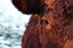 cow-174822_960_720