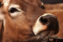 cow-2216918__340